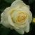 Розы, привитые на шиповнике - Изображение 1