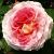 Розы, привитые на шиповнике - Изображение 2