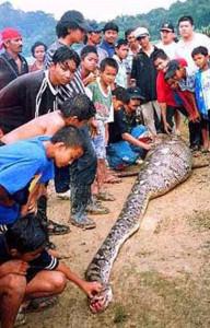 Пойманный в Малайзии питон, проглотивший ребенка