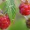 тройной урожай малины