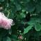 уход за розами