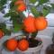 мандарин из косточки